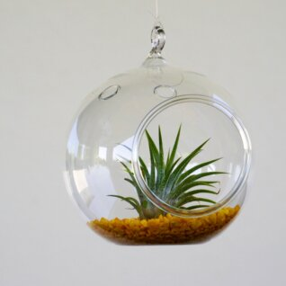 Terariu Tillandsia Cool Yellow 04